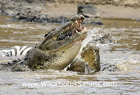 Crocodiles fighting